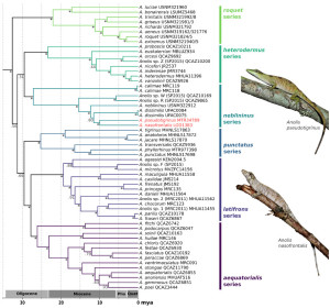 Fig. 2. Phylogenetic relationships and divergence times between species in the Dactyloa clade of Anolis inferred using BEAST. Asterisks denote posterior probabilities > 0.95.