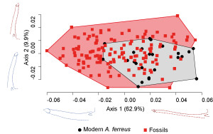 Figure 3. Two first axes of the PCA conducted on shape data collected for fossil and modern A. ferreus dentaries showing a diminution of morphological variability between fossil and modern anoles.