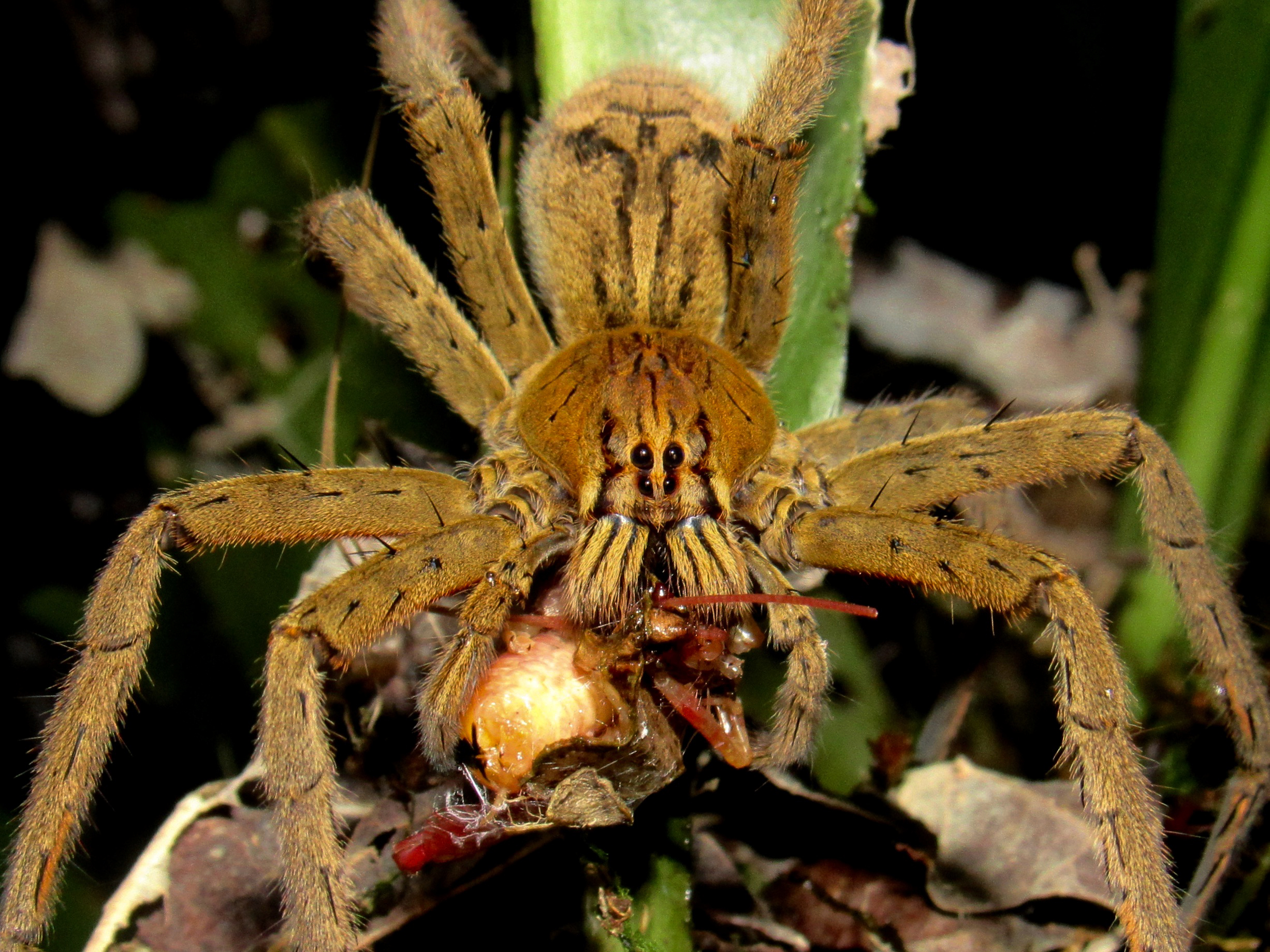 Red-legged wandering spider (Cupiennius coccineus) eating a pink katydid (Tettigoniidae: Phaneropterinae) at La Selva Biological Station, Costa Rica