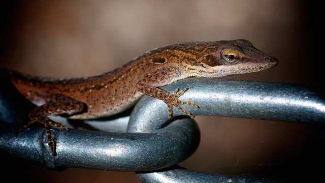 Anolis carolinensis, 05 September 2011