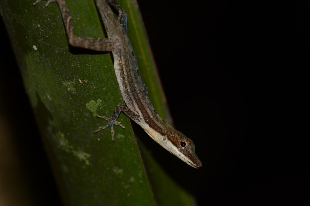 A male slender anole (Anolis limifrons)