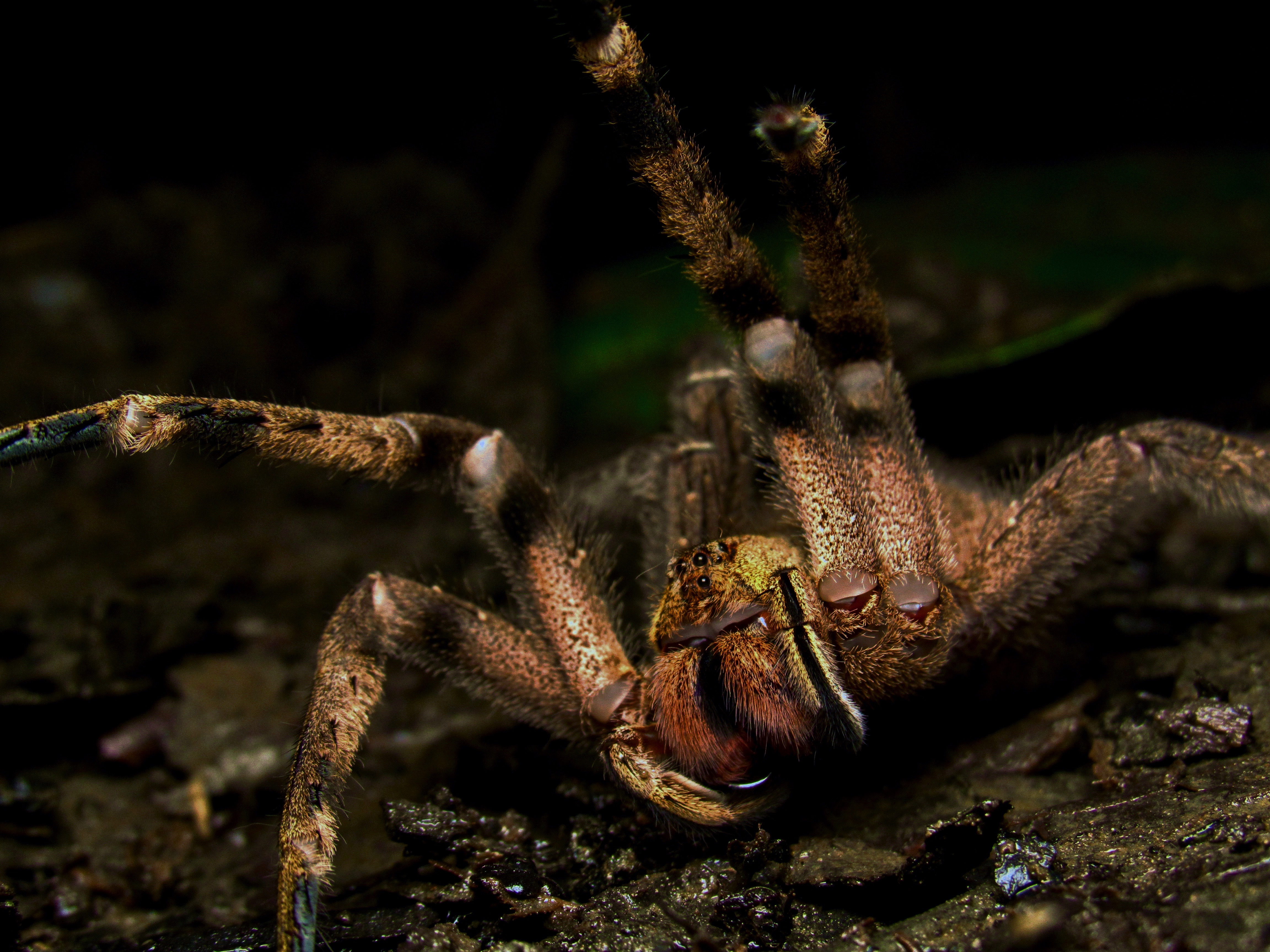 Threat display of a Brazilian wandering spider (Phoneutria boliviensis) from Tárcoles, Costa Rica. A ctenid with medically significant venom.