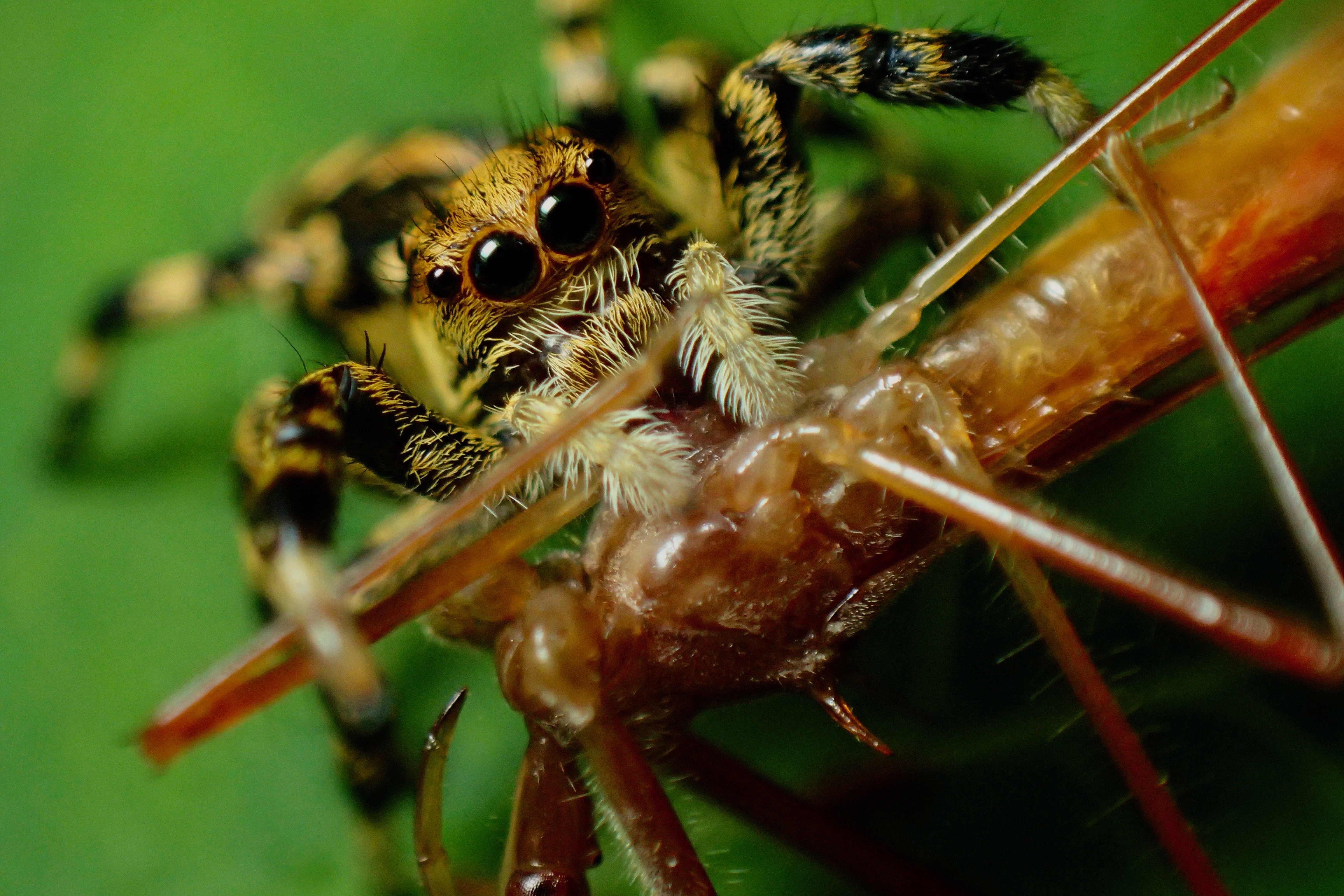 Jumping spider (Salticidae: Phiale cf. guttata) eating an assassin bug (Reduviidae)
