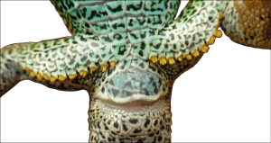 Photograph of the cloacal region of a male lacertid lizard (Lacerta agilis), showing his numerous femoral pores with protruding glandular secretion.