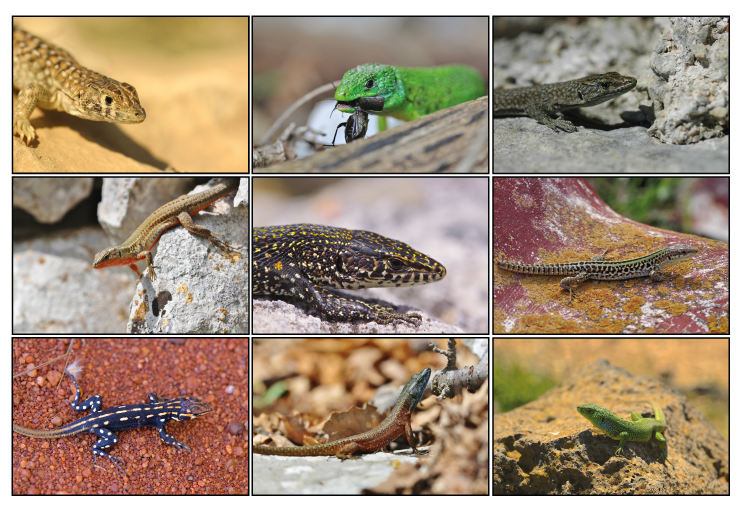 Photographs of a subset of lacertid lizard species used in this study. From the left top to the right bottom: Acanthodactylus beershebensis, Lacerta bilineata, Dalmatolacerta oxycephala, Podarcis melisellensis, Tropidosaura gularis, Podarcis siculus, Heliobolus lugubris, Algyroides nigropunctatus, Lacerta media.