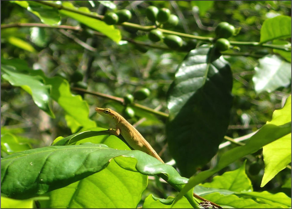Figure 5. Image of an adult Mexican anole, Anolis sericeus, perching in a coffee shrub in Chiapas, Mexico.