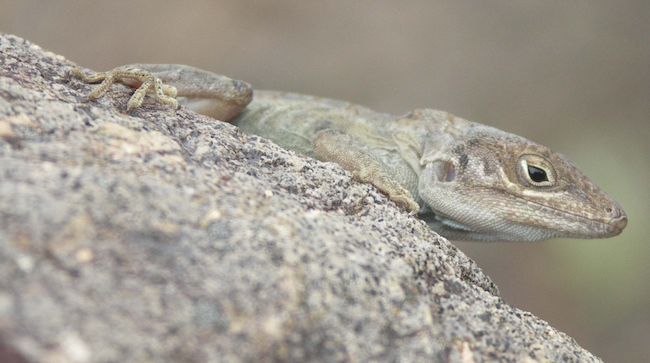 Anolis shrevei on a rock. Photo courtesy of Katharina Wollenberg Valero.
