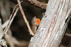 Male brown anole showing his dewlap
