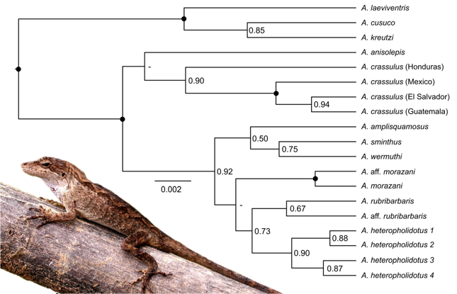 Figure 4 from Hofmann & Townsend, 2017. Species tree of the Anolis crassulus subgroup. Inset photo: Anolis heteropholidotus (2) by JHT.