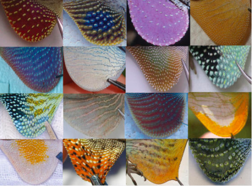 A small sample of anole dewlap diversity. Image from Nicholson et al. (2007).